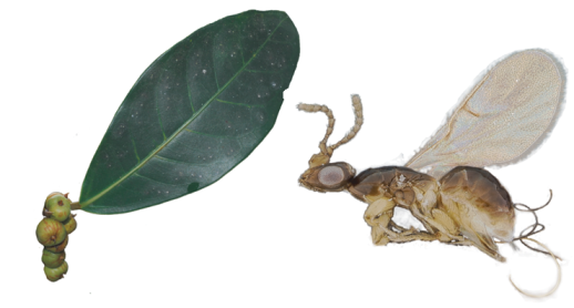 Dolichoris wasp and Ficus leaf and figs