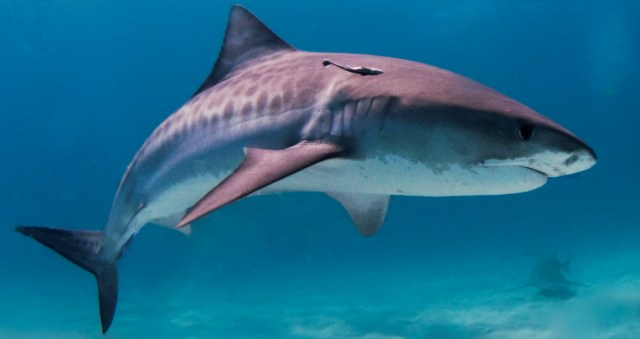 Photo by Albert Kok http://en.wikipedia.org/wiki/File:Tiger_shark.jpg
