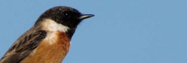 European_Stonechat-CROPPED