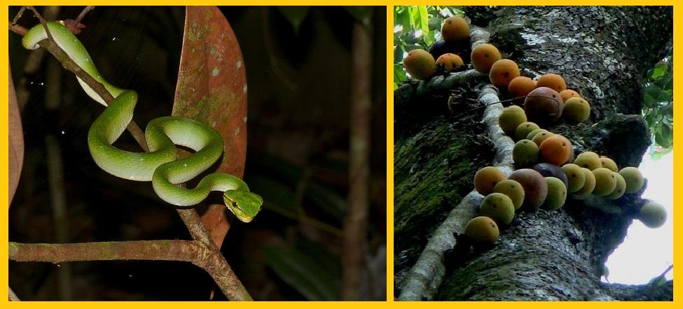 Snake-Figs-Borneo