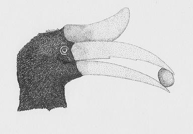 Rhinoceros-hornbill-scan