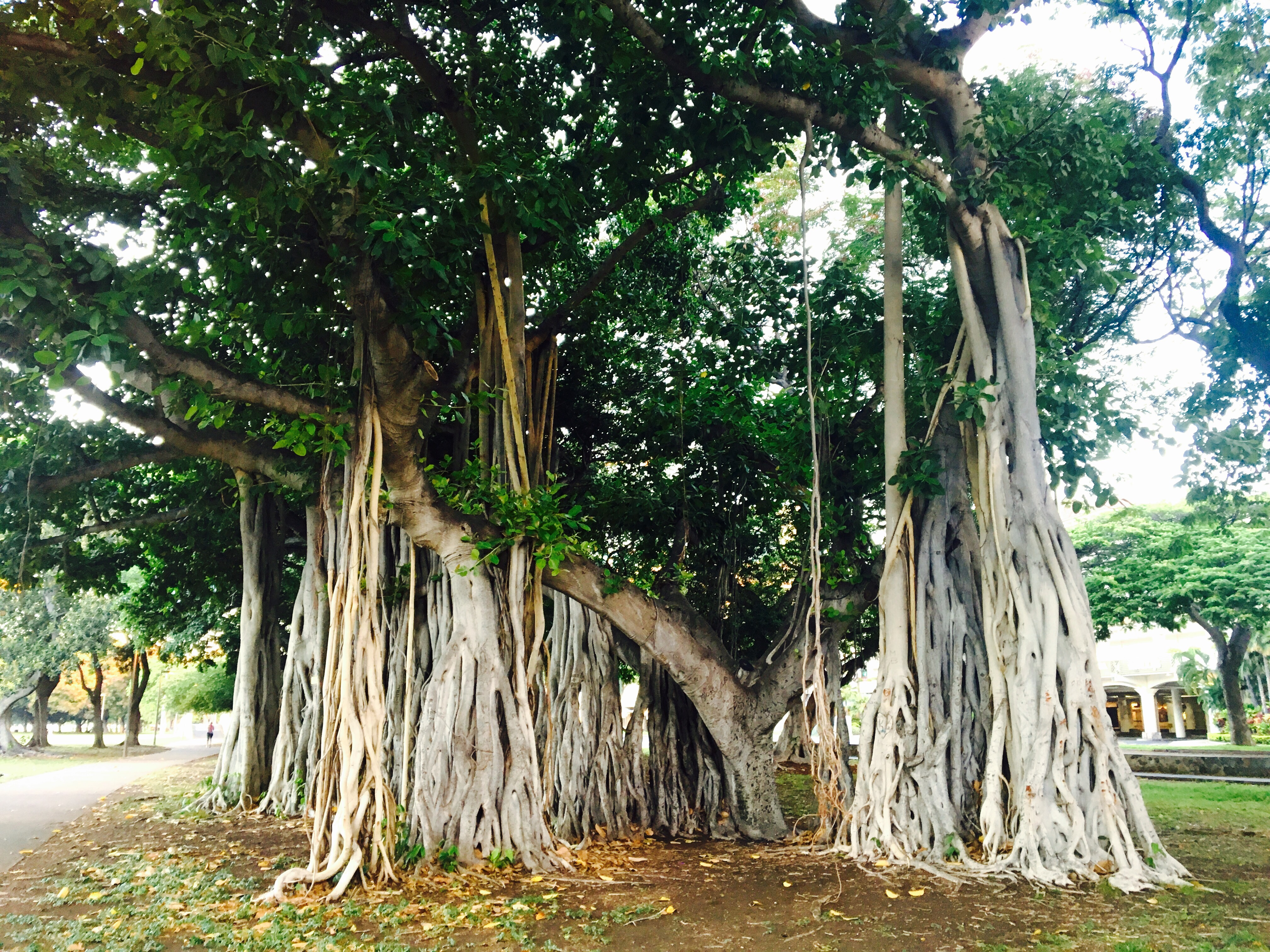 10 things you need to know about banyan trees | Under The Banyan