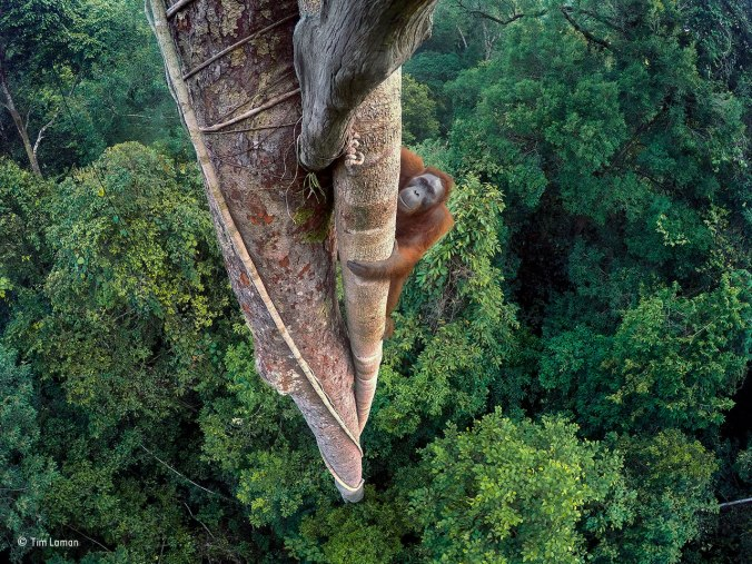 Orangutan climbing the pillar root of a strangler fig (Ficus stupenda)