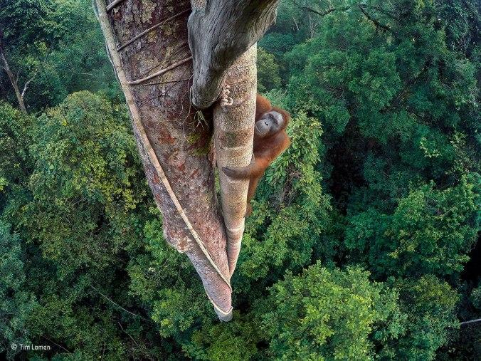 Orangutan climbing the pillar root of a strangler fig (Ficus stupenda)