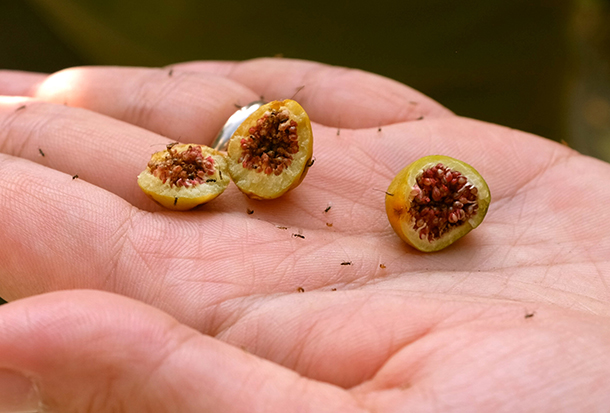 Figs and fig wasps (Photo: Jnzl's Photos, Flickr CC BY 2.0)