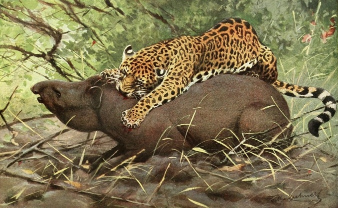 Jaguar attacking a tapir