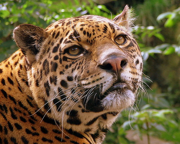 Jaguar headshot — Pascal Blachier / Wikimedia Commons