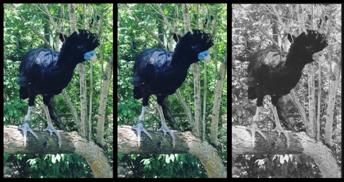 Blue-billed Curassow (Crax alberti) in Colombia's Aviario Nacional (national aviary) - Photo by Mike Shanahan