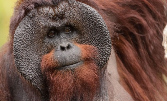 Male_Bornean_Orangutan_-_Big_Cheeks2