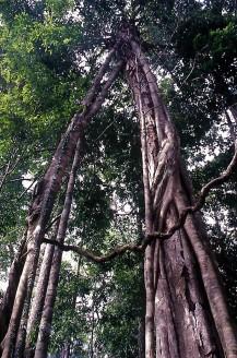 Strangler fig (Ficus kerkhovenii). Lambir Hills National Park, Sarawak