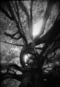 Inside a strangler fig (Ficus kerkhovenii). Lambir Hills National Park, Sarawak