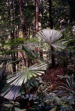 Licuala fan palms. Lambir Hills National Park, Sarawak