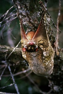 Colugo (flying lemur) in Lambir Hills National Park, Sarawak