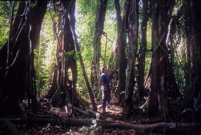 Biologist Rhett Harrison surrounded by many aerial roots of a single strangler fig (Ficus virens) on Long Island, Papua New Guinea. Credit: Mike Shanahan