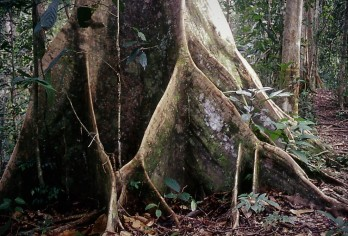 Buttress roots in Lambir Hills National Park, Sarawak