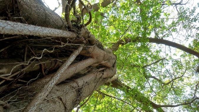 768px-Ficus_natalensis,_habitus,_Manie_van_der_Schijff_BT,_a-b