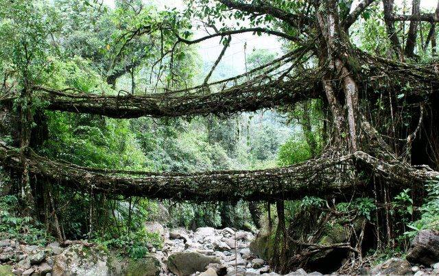 In Cherrapunji, India, locals mold the roots of the fig species Ficus elastica tree into living bridges. Credit: 2il.org Flickr (CC BY 2.0)