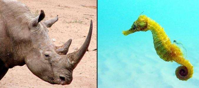 rhino-seahorse