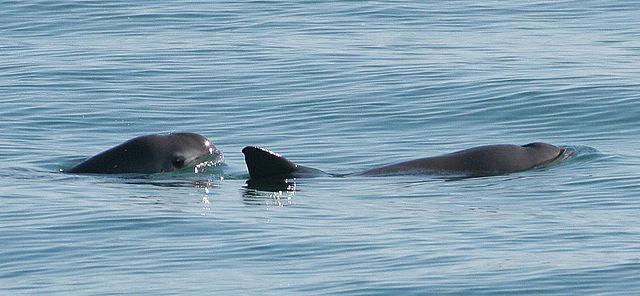 Vaquita6_Olson_NOAA