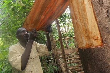 Peeling away the bark to prepare barkcloth. Credit: Joyce Nanjobe Kawooya /Wikimedia Commons
