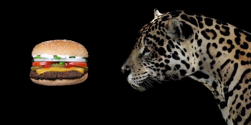 Jaguar looking at burger
