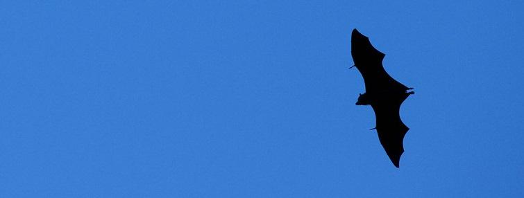 Fruit bat in flight