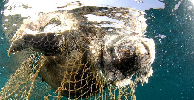 Sea turtle drowned in fishing net
